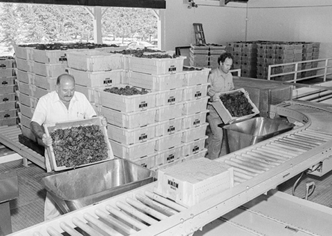 Preparing freshly harvested grapes for production.